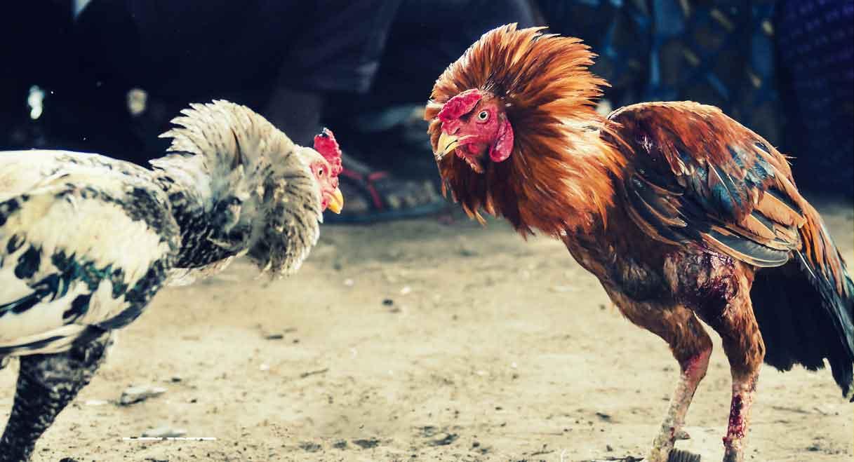 Bermain Judi Ayam Uang